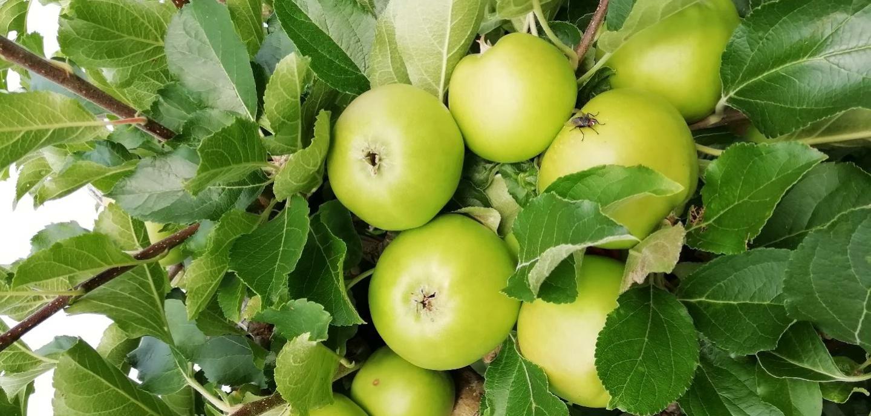 Äpfel aus dem eigenen Garten – Apfelbaum-Aktion Ismaning