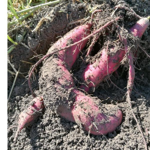 Süßkartoffeln im Hofladen